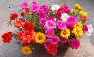 太阳花种子_太阳花的种植方法_太阳花怎么养